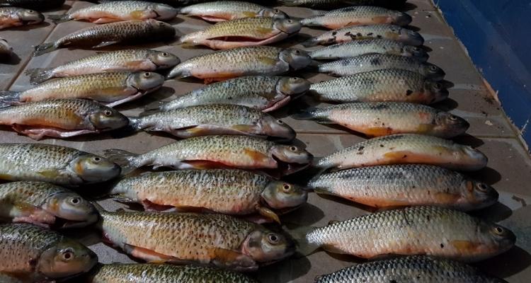 Polícia Militar apreende 85 unidades de pescado irregular em Aripuanã