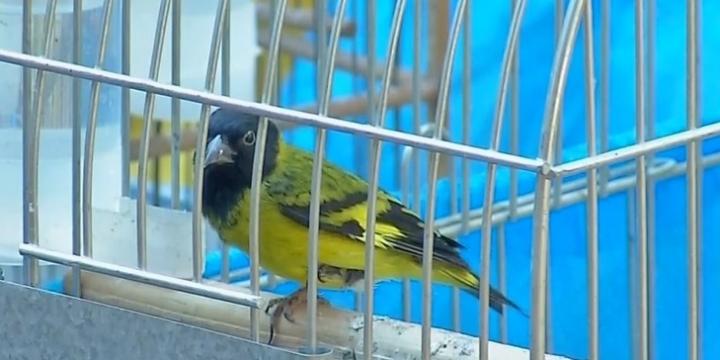 44 aves exóticas são apreendidas em 2 casas em Tangará da Serra (MT)