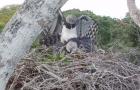 Namoro selvagem: câmera a 30 metros de altura flagra acasalamento da maior ave de rapina das Américas